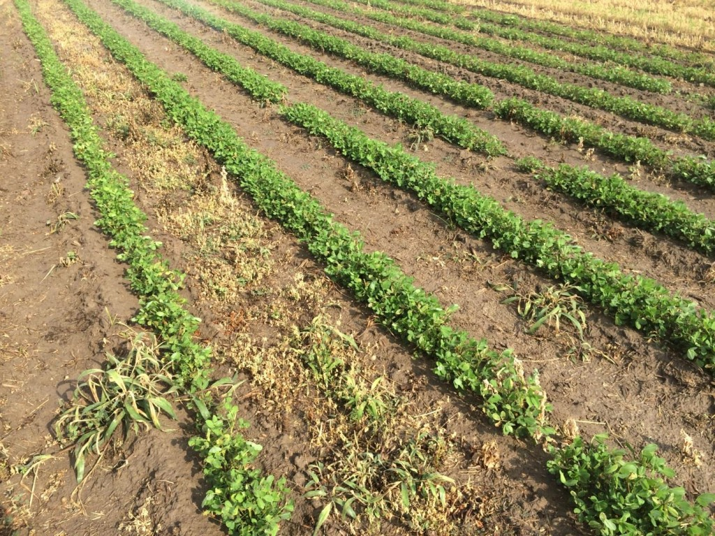 Weeds being controlled in peanut.