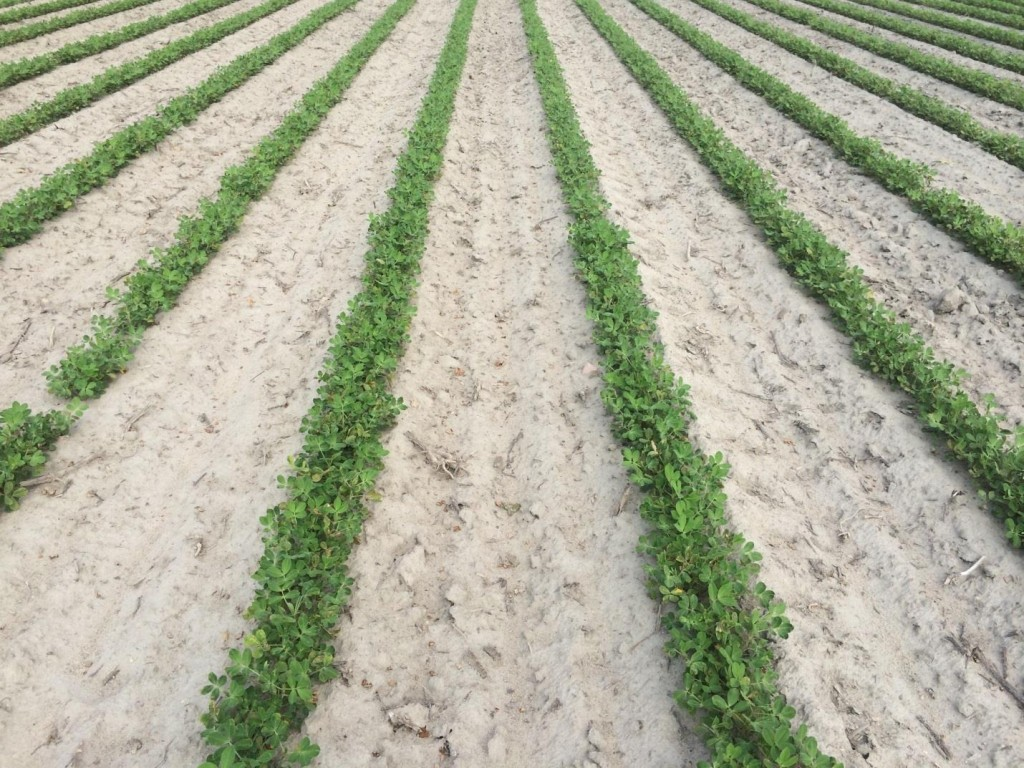 Peanut planted May 19 under dryland production.
