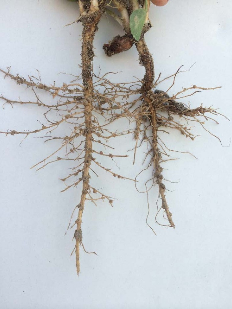 Peanut root system with adequate early season nodulation for nitrogen fixation.