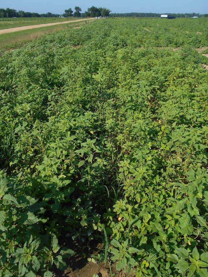 weedy field, not treated with herbicides