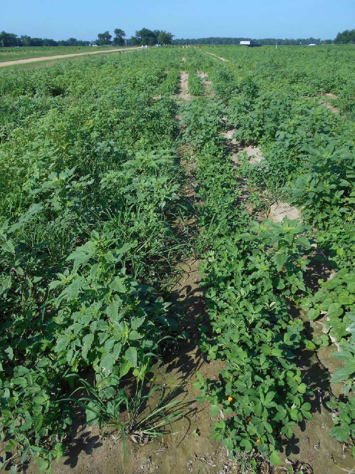 peanut field treated with Warrant plus Valor SX