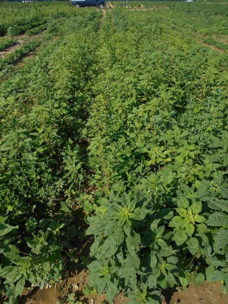non treated peanut field