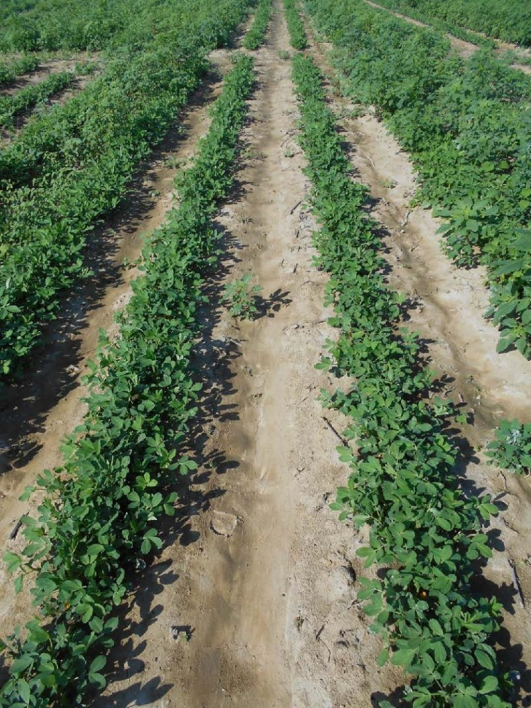 peanut field treated with herbicides