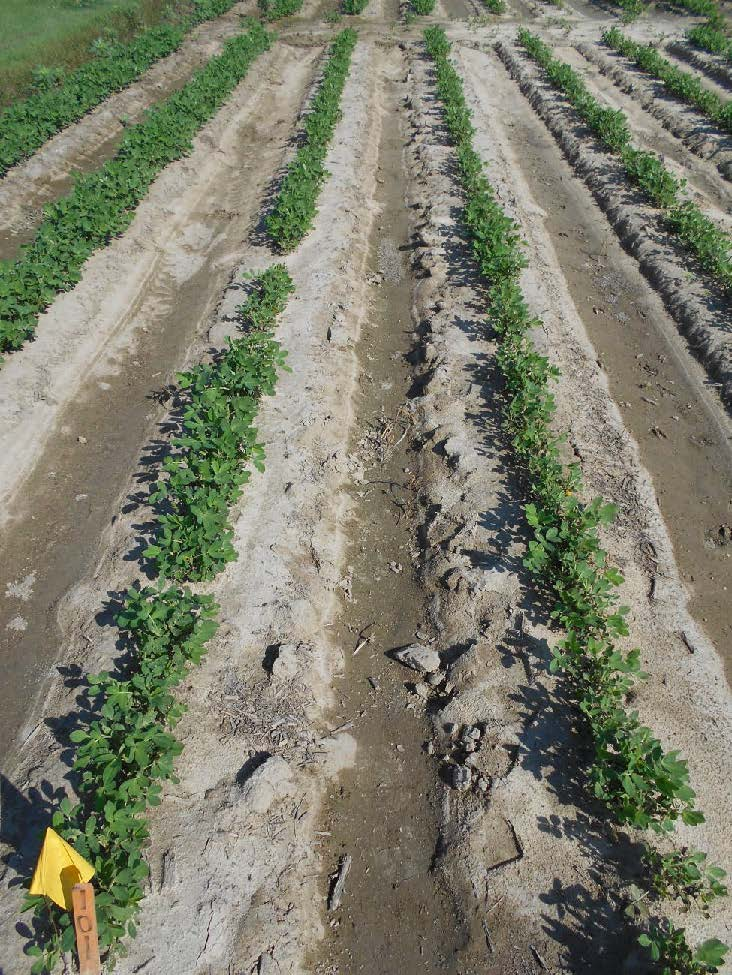 peanut field not treated for thrips