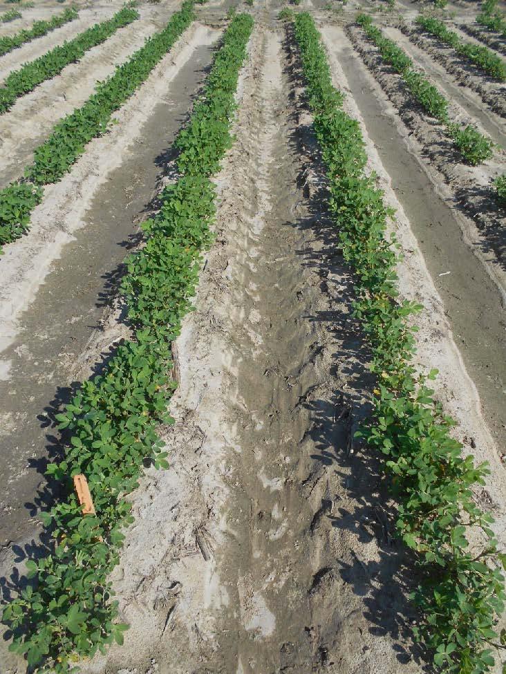 peanut field treated with Thimet