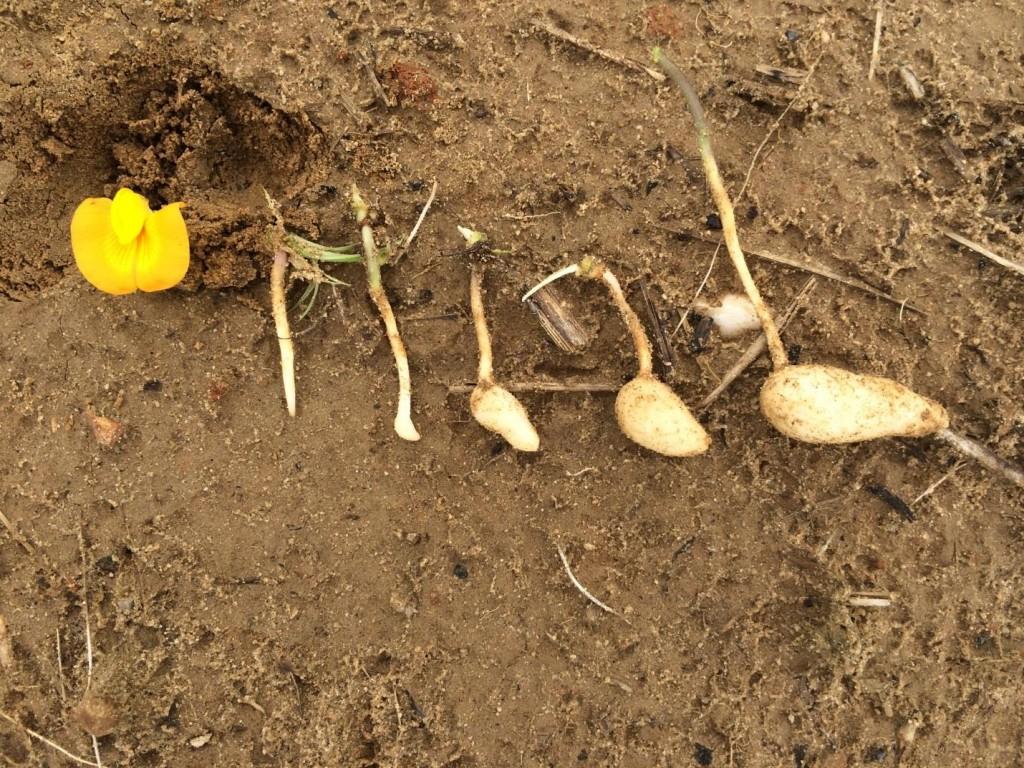 Development of peanut planted May 22