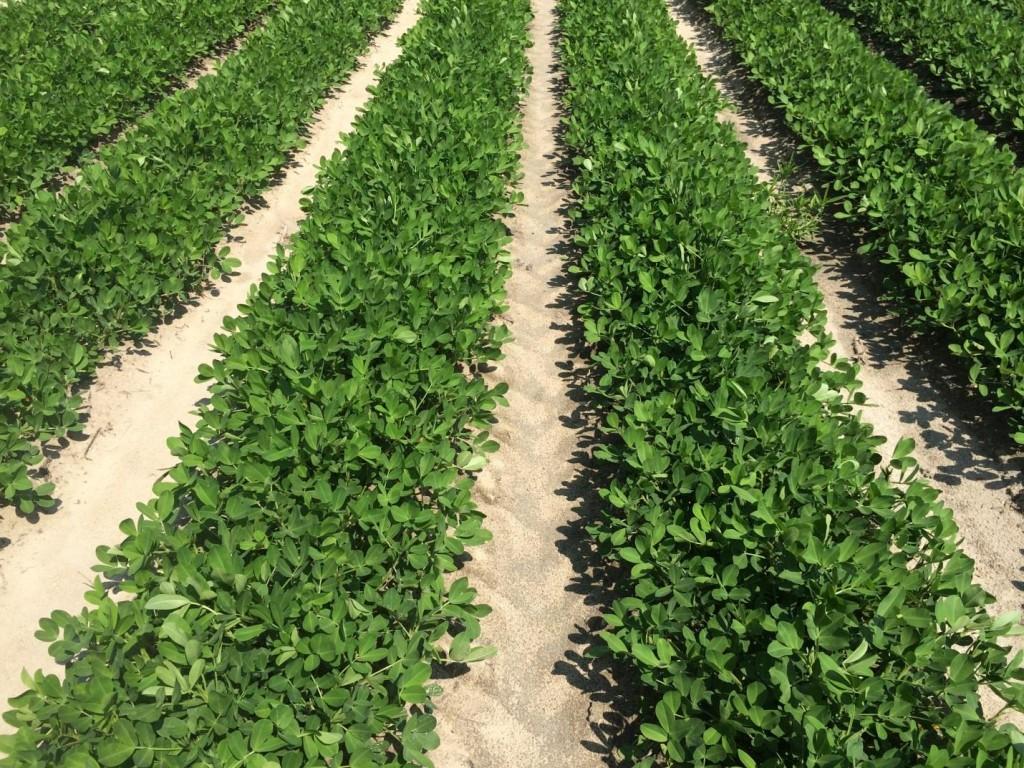Peanut field