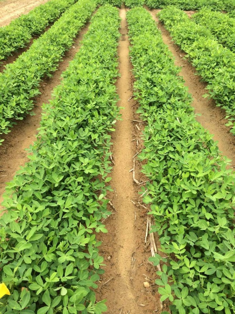 Peanut field with considerable soil space between rows.