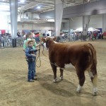 Howell is presenting MissMe for the judge during the Open Hereford Show!