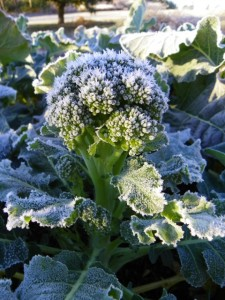 Broccoli coated with frost