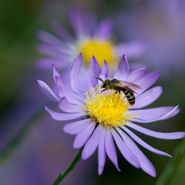 Sweat bee on clasping American aster