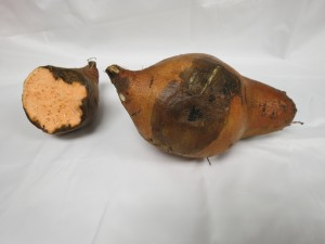 Black rot of sweetpotato