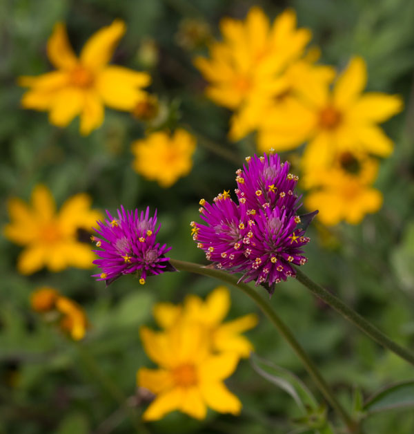 'Fireworks' gomphrena with tickseed