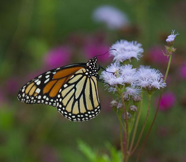 Monarch on wild ageratum