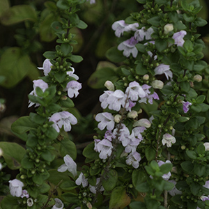 Clinopodium georgianum