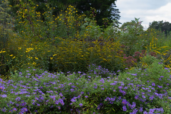 Aromatic aster 'October Skies' with goldenrod, tall tickseed, velvet-leaved mallow, eastern ninebark, joe-pye weed, and more