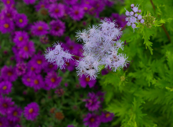Palmleaf thoroughwort backed by New York aster 'Purple Dome'