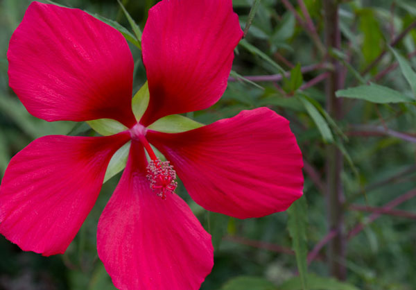 Red rose mallow