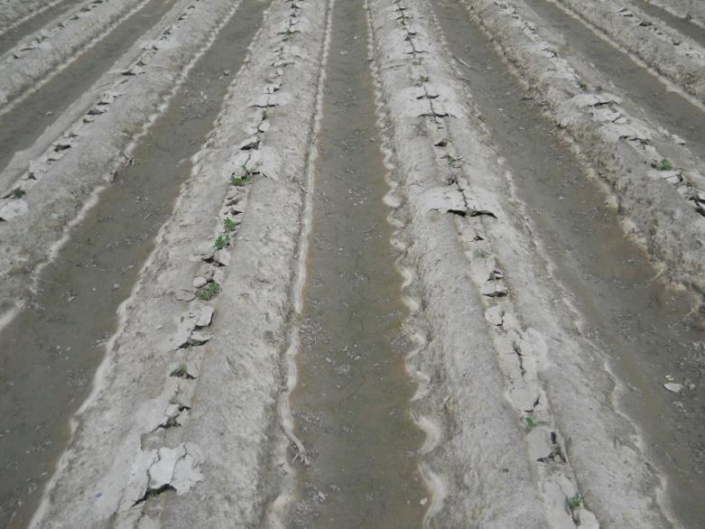 Peanut_Planting