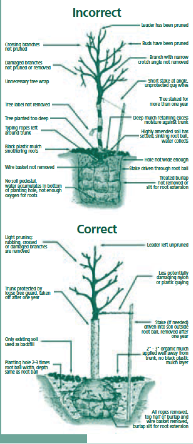 Time to plant trees - Fir tree planting instructions a vigorous garden ...