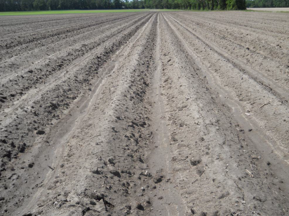 Fields requiring fumigation for CBR have received this input and are ready for planting