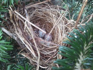 Song bird nest with eggs in Fraser fir Christmas tree.