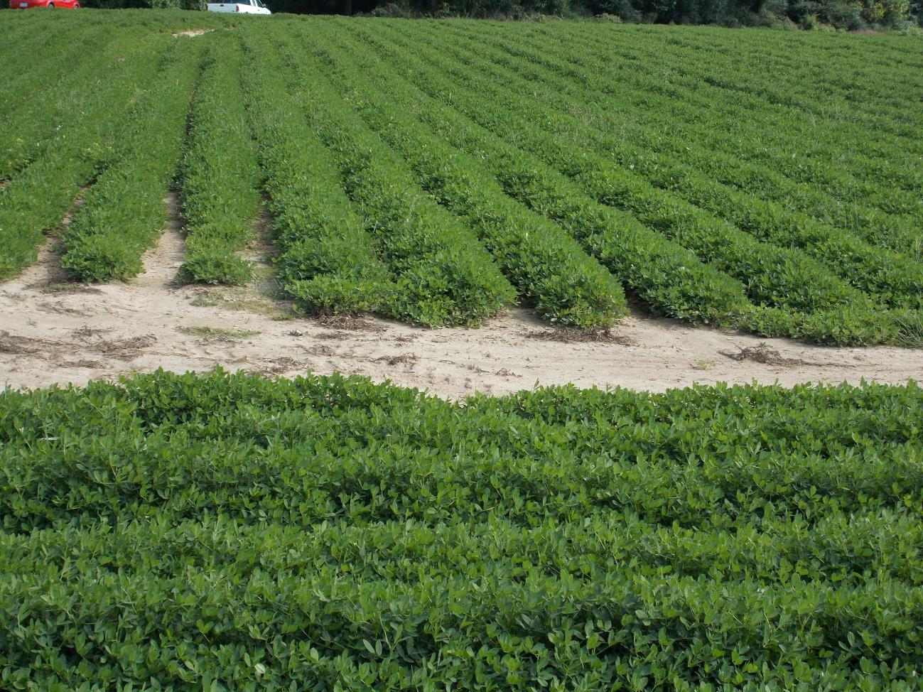 Peanut from same area showing recovery after soil drying in late summer.