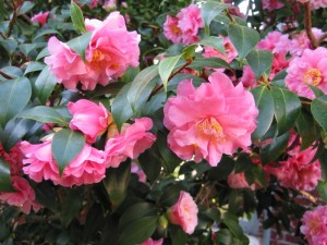 There are many alternatives to using Leyland cypress to screen your property. Camellias (pictured here) are a broadleaf evergreen shrub that work well for screening. Although they are not inexpensive, they provide the extra benefit of showy flowers. Camellias flower in spring or fall, depending on which species you choose. 'Green Giant' arborvitae and cryptomeria are also suitable alternatives to Leyland cypress in the landscape. Picture by Harvard University.