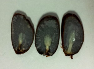Folklore says persimmon seeds can be used to predict the upcoming winter. Cutting the seed open reveals the cotyledons (developing embryo leaves). The tiny plant leaves look like a knife, a fork, or a spoon. The knife indicates cold and ice, the spoon suggests snow, and the fork predicts mild conditions. This year's prediction is ice and snow.