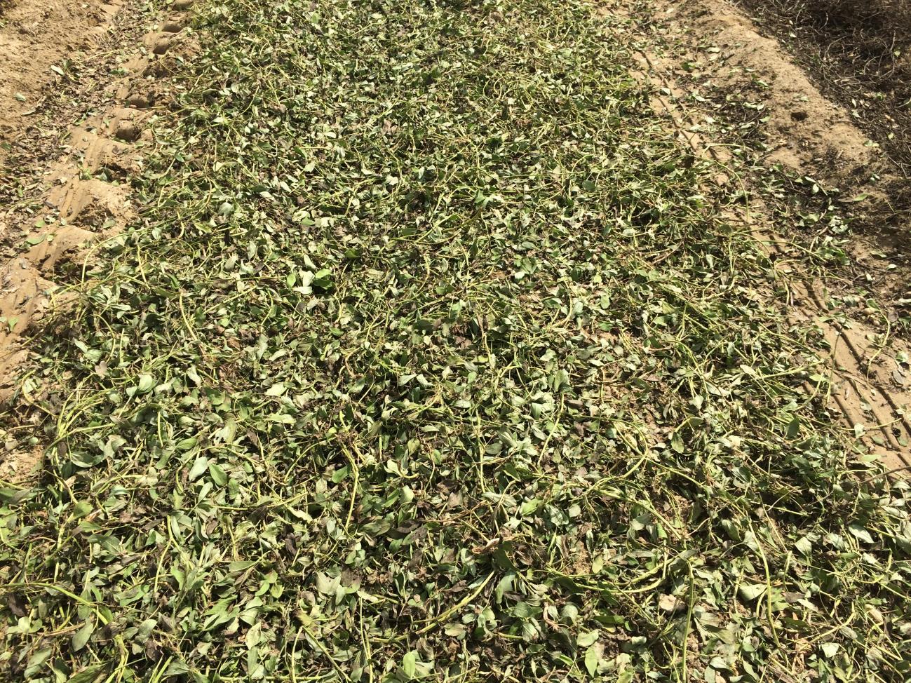 peanut field after combining.