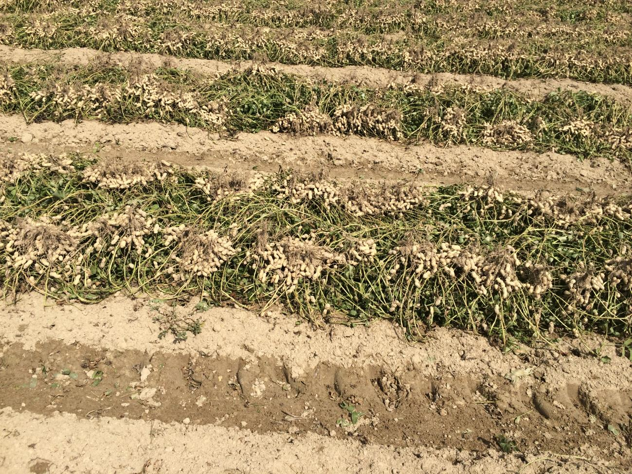 Peanut windrows after digging and vine inversion.