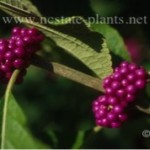 Purple fruits of American Beautyberry