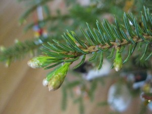 ChristmasTreeBranch-noricum