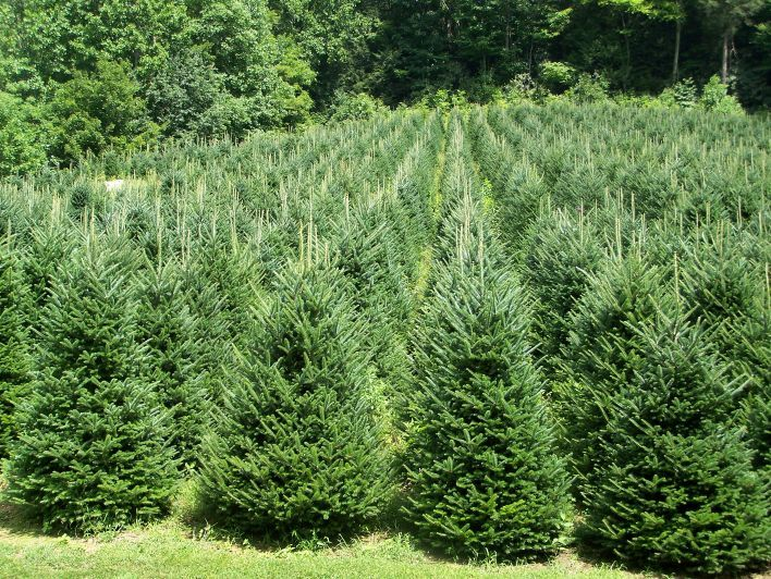 Farm Christmas Tree Nursery
