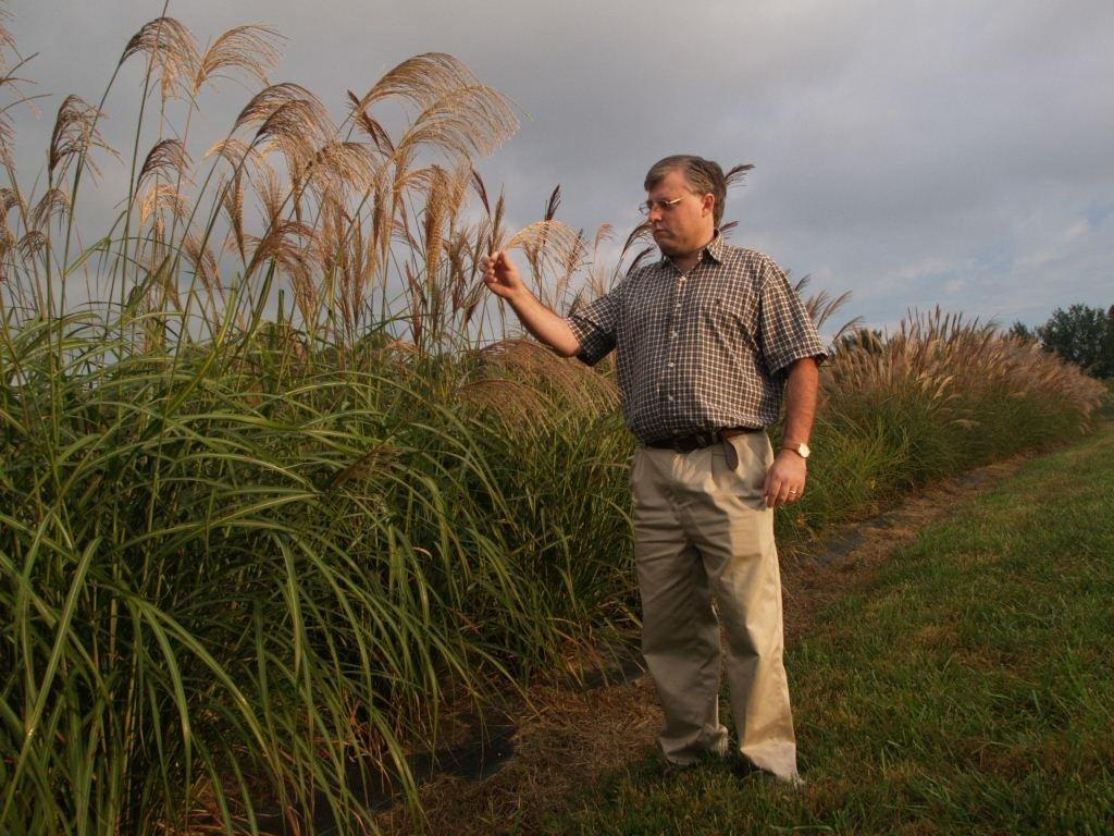 Giant miscanthus being developed by NCSU researchers for biofuel feedstock. Courtesy of NCSU.