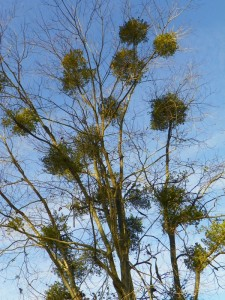 Mistletoe in tree branches
