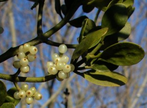 mistletoe berries