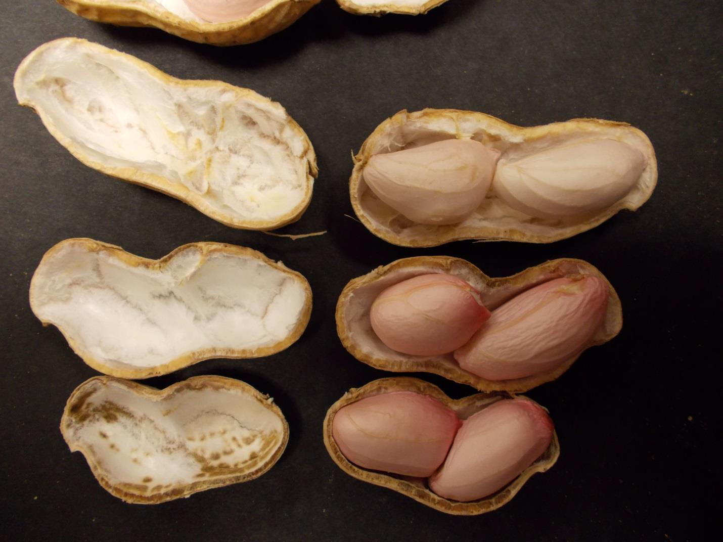 Various levels of pod maturation for Virginia and runner market type peanut on September 24