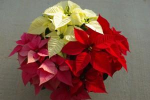 poinsettia-varieties