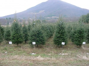About 6 million Christmas trees will be harvested this year in North Carolina. Research plots at the Mountain Horticultural Crops Research and Extension Center in Mills River show growers how shearing practices effect the growth of the mature trees.