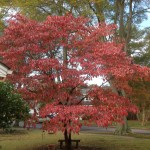 Dogwood in full fall color