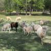 Sheep at Bonlee Grown Farm