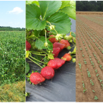 picture of cover crops in field, strawberry fruit and newly germinated cover crop