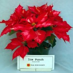 Poinsettia Ice Punch
