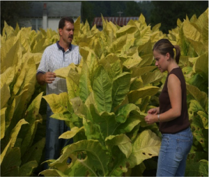 Extension agent inspecting tobacco