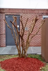 Pruning crape myrtles by removing part of the main branches is a common practice. Although it is common, it has detrimental side effects. This pruning method reduces the number of blooms, delays flowering, and creates weak branches.