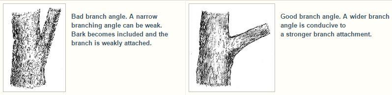 Branch angles
