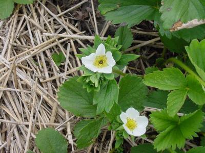 Strawberry2frostdamagegardenpatch050906