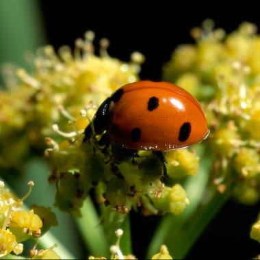 bug-lady-beetle-380