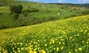 Tired of seeing buttercup in your pasture north carolina out across your pastureshay fields and seeing that sea of yellow every spring one of the signs that spring has arrived is when the yellow flowers of mightylinksfo